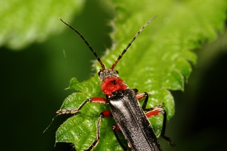 Bug with a red-black back and long moustaches  (Cantharis fusca) on tree sheet. Macro