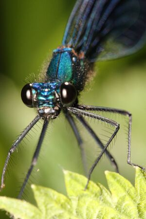 Dragonfly close up (macro) on green sheet .(Calopteryx splendens taurica) Stock Photo - 9647505