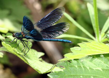 largely: Dragonfly with the opened wings, sitting on green sheet largely Stock Photo