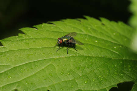 chitin: The green fly sits on green sheet with water droplets (macro)
