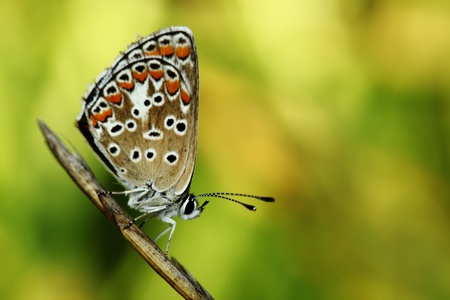 The butterfly with bright wings sits on a blade on a dim green background Stock Photo - 10787364