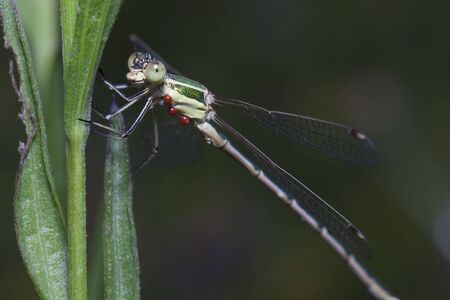 The dragonfly sits on a green stalk. Stock Photo