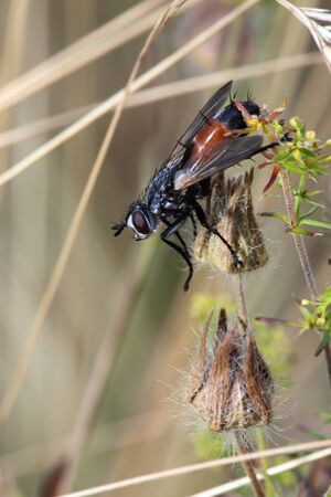 The fly with a red paunch sits on a stalk among a grass largely. Stock Photo - 12428009