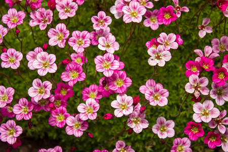 unpretentious: Floral background of  graceful pink saxifrage