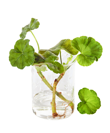 The widespread proliferation of geranium cuttings Stock Photo