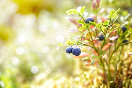 blanks: Blueberries grow in the forest on a sunny day. Karelia. Russia
