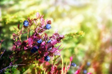 blanks: Blueberries grow in the forest. Karelia. Russia Stock Photo