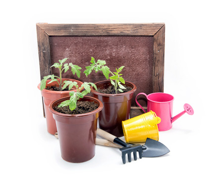 Seedlings of tomatoes in plastic pots on a white background. Cultivation of tomatoes