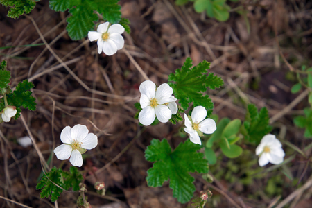 cloudberry blooms in the swamp. Karelia. Russia