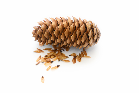 Spruce cone with seeds on a white background. Collecting seeds for growing spruce