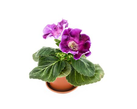 Gloxinia with lilac flowers. Room flower on a white background
