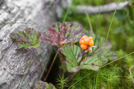 Cloudberry grows in a swamp near a fallen tree. North Karelia. Russia