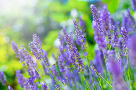 lavender coloured: Blooming Lavender bush in a shallow depth of field backlight is soft sunlight filled. Traditional European Mediterranean Agriculture. Blurred summer background of lavender flowers.