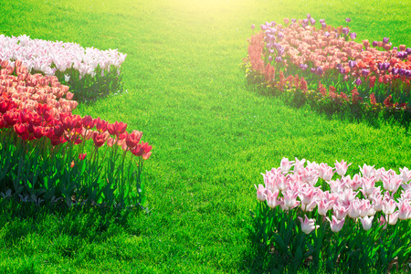 Tulips blooming flowers field, green grass lawn in beautiful spring garden. In the backlight warm sunbeam light. Springtime concept. Stock Photo