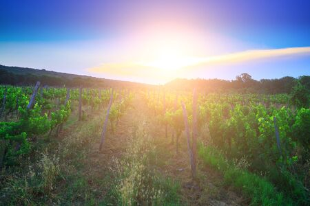 Traditional Mediterranean vineyards. Rows of vines on the farm in evening sunset light. Traditional European Mediterranean Agriculture.