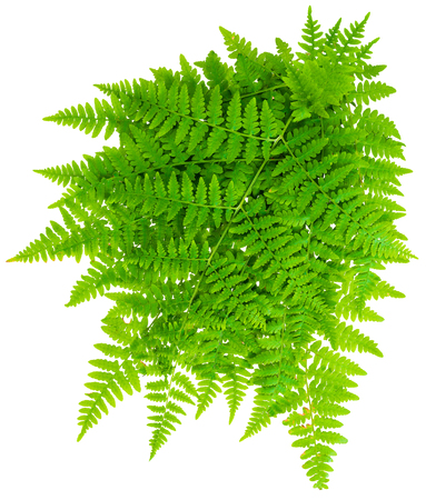 bunch leaf fern isolated on white background in macro lens shooting
