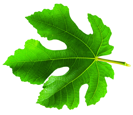 Fig (Ficus carica, common fig) leaf isolated on white background
