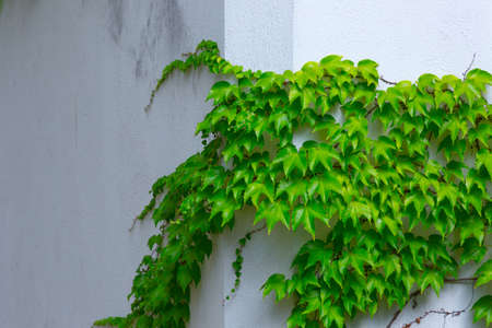 Vine variety Parthenocissus tricuspidata Veitchii, or Victoria creeper, or Boston Ivy, bright green waxy leaves on long sprout grow climbs clings tiny suction cups on building exterior wall