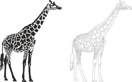 Vector illustration of an giraffe. 向量圖像