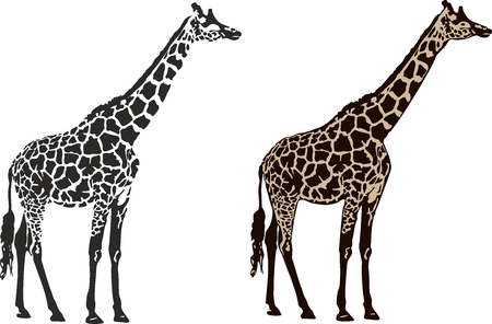 illustration of an two giraffe.