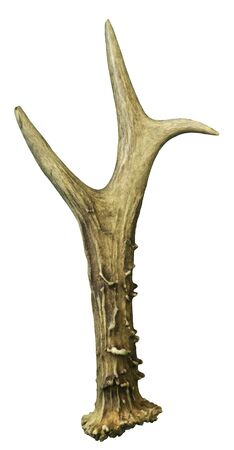 elk point: Deer antlers. Isolated on white