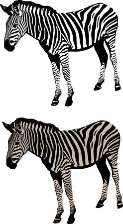 A zebra vector illustration on white background.