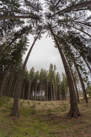 fish eye lens: Bottom view of the high spruces with fish eye lens Stock Photo