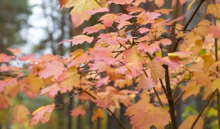 Red and yellow maple leaves. Colorful of autumn.