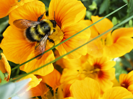 bumblebee collects nectar on a yellow flower close-up