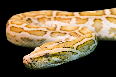 Gold Python, Reticulated python on black background.