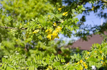 green branch with young shoots and yellow flowers
