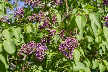 green branch with young shoots and lilac flowers 免版税图像