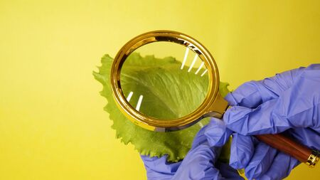 scientist hand with a magnifying glass over the lettuce  on a yellow background.