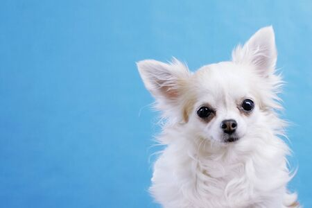Cute wide eyed chihuahua on an isolated blue background in studio. Funny Chihuahua tilts her head to one side, then on other side. She is very curious and inquisitive.