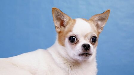 Beautiful dog Chihuahua posing looking at camera on blue background.
