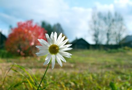 camomile in russian village in autumn Stock Photo - 4346878