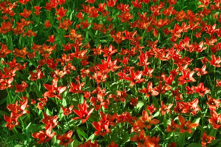 poppies - contrast of red and green colors Stock Photo - 4387613