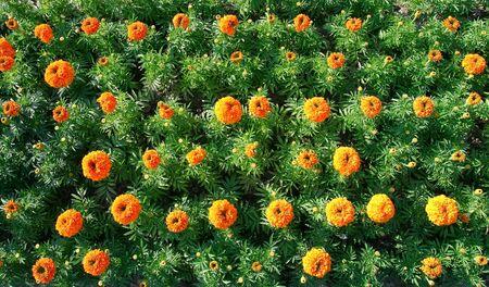 lines of spherical orange flowers in garden Stock Photo - 4485905