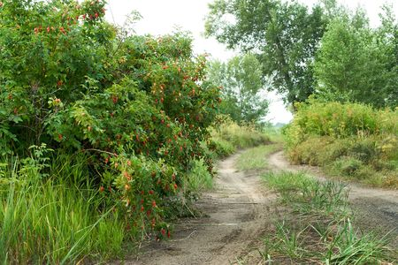 berry of sweetbrier on road in forest (Kazakhstan, Asia) Stock Photo - 4709777