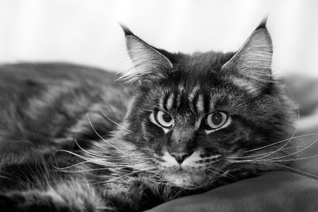 sullenly: lying cat (maine-coon purebred) Stock Photo