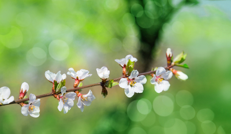 Cherry tree flowers with green background. Blured concept