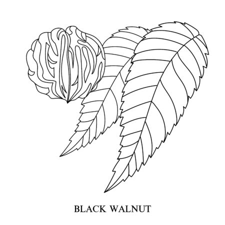 Eastern black walnut (Juglans nigra). Hand-drawn botanical vector illustration. Linear image of a nut and leaves