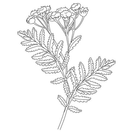 Tansy or daisy flower. Botanical illustration. Good for cosmetics, medicine, treating, aromatherapy, nursing, package design, field bouquet. Hand drawn wild hay flowers.