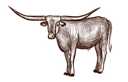 Texas Longhorn bull, domestic animal ink sketch hand drawn illustration isolated on white background illustration for coloring book page. Vector illustrations. 向量圖像