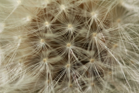 blowball: Macro shot of dandelion blowball background