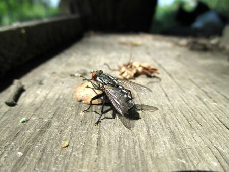 House fly, Blow fly, carrion fly, Musca species, on old stained wood, overhead view
