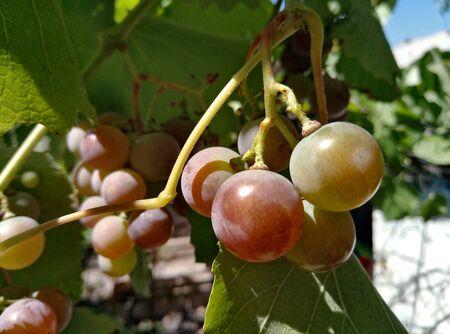 grape berry in the vineyard in sunny weather Archivio Fotografico - 132080849