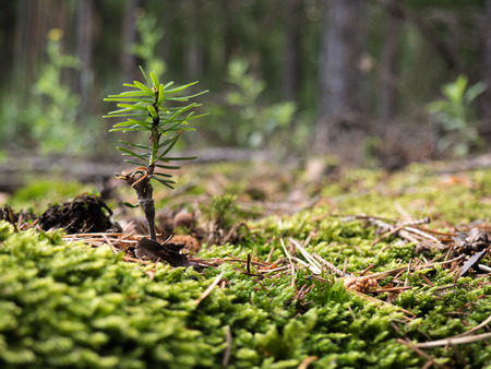 Tiny conifer seedling in the forest Banco de Imagens
