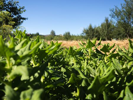 New Zeland spinach plant growing in the field