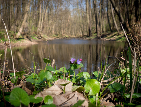 obscura: Spring forest and river in Litovelske pomoravi with blooming Pulmonaria obscura (unspotted lungwort or Suffolk Lungwort) flowers, Czech Repbublic